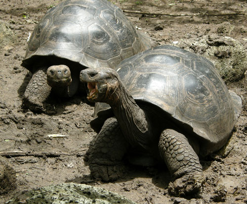 Galapagos, Santa Cruz Island - giant tortoise breeding centre