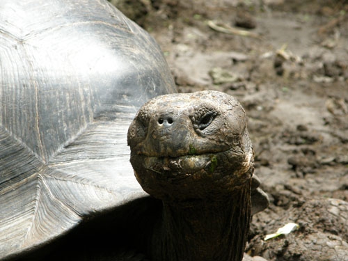 Galapagos, Santa Cruz Island - giant tortoise close up