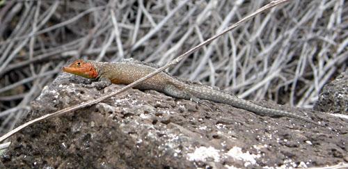 Galapagos, Santa Cruz Island - lizard