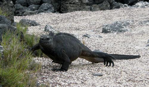 Galapagos, Santa Cruz Island - marine iguana walking