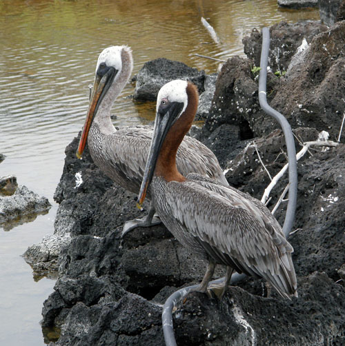 Galapagos, Santa Cruz Island - pelicans by the lake