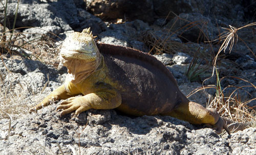 Galapagos, South Plaza Island - land iguana posing for camera