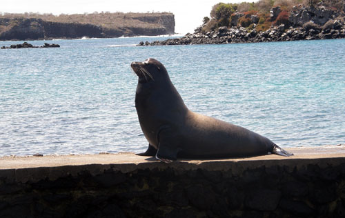 Galapagos, South Plaza Island - male sea lion at the dock