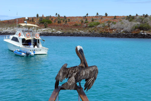 Galapagos, South Plaza Island - pelican resting on boat