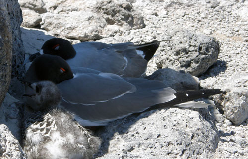 Galapagos, South Plaza Island - sea gulls with young hiding in the shade