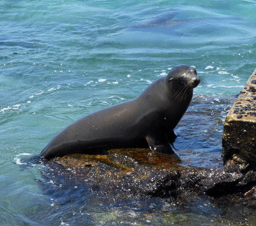 Galapagos, South Plaza Island - sea lion coming onto the pier