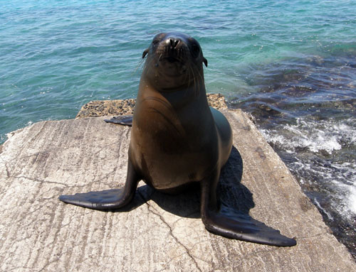 Galapagos, South Plaza Island - sea lion posing for camera