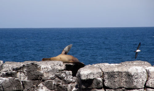 Galapagos, South Plaza Island - sea lion relaxing on cliff