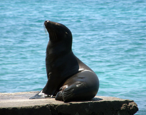Galapagos, South Plaza Island - sea lion sun-bathing