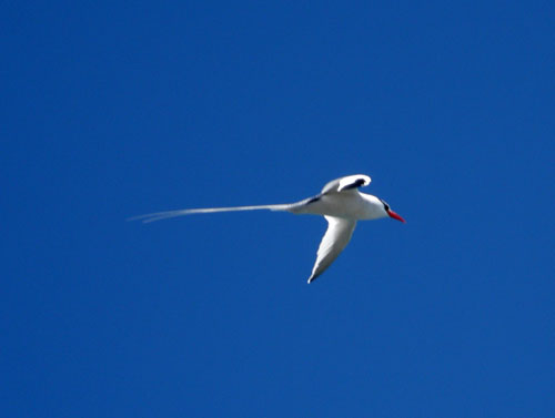 Galapagos, South Plaza Island - white longtail bird