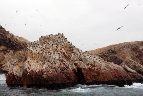 Islas Ballestas - Peruvian boobies resting on rocks