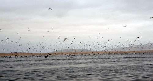 Islas Ballestas - flocks of birds