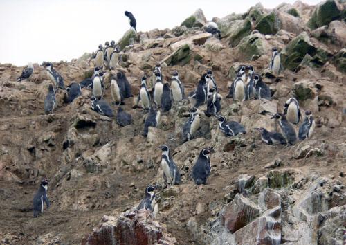 Islas Ballestas - penguins