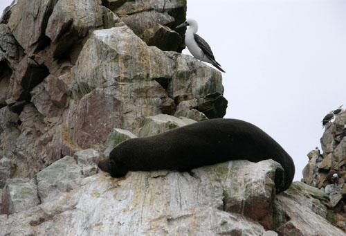 Peru, Islas Ballestas - endangered South American fur seal