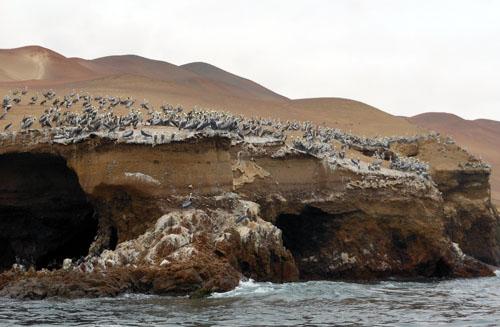 Peru, Paracas - flocks of pelicans