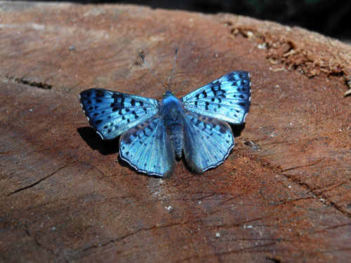 Bolivia, Serere Reserve - amazing saphire butterfly