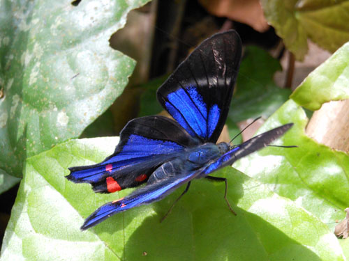Bolivia, Serere Reserve - another butterfly