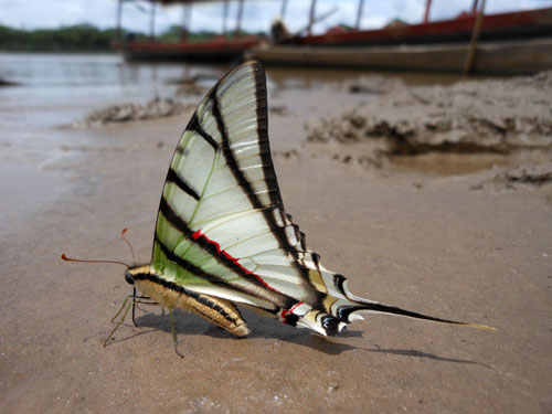 Bolivia, Serere Reserve - beautiful butterfly on river shore