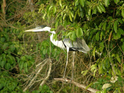 Bolivia, Serere Reserve - heron spotted