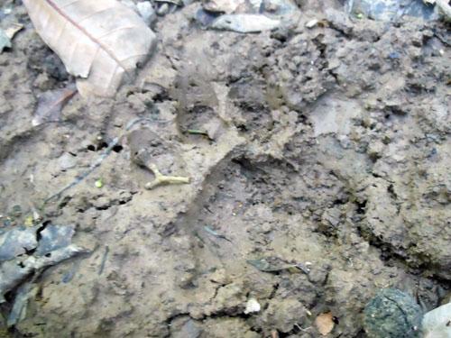 Bolivia, Serere Reserve - jaguar paw print