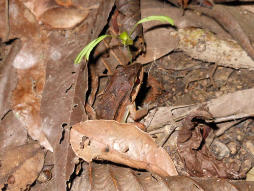 Bolivia, Serere Reserve - perfectly camouflaged frog spotted on a night walk
