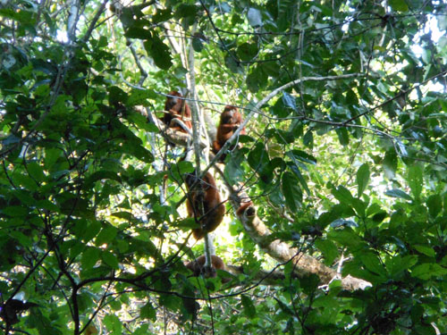 Bolivia, Serere Reserve - red-faced howler monkeys hiding in the trees