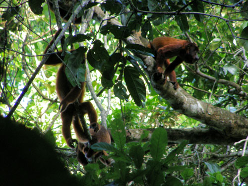 Bolivia, Serere Reserve - red-faced howler monkeys