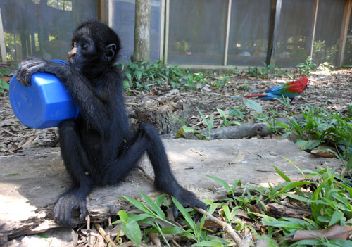 Bolivia, Serere Reserve - rescue spider monkey clearing a bowl of food