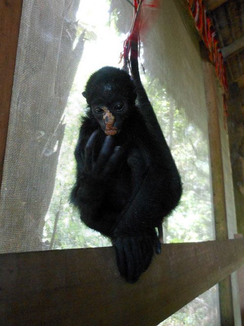 Bolivia, Serere Reserve - rescue spider monkey in the main house