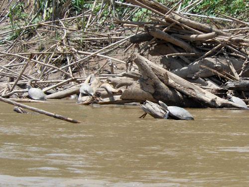 Bolivia, Serere Reserve - river turtles