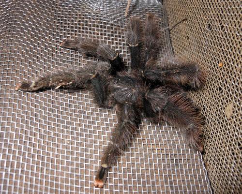 Bolivia, Serere Reserve - small 10cm tarantula in the main house
