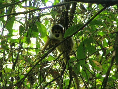 Bolivia, Serere Reserve - squirrel monkey