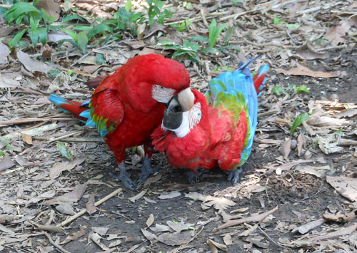 Bolivia, Serere Reserve - the macaws