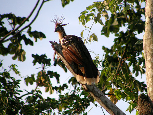 Bolivia, Serere Reserve - the Serere bird