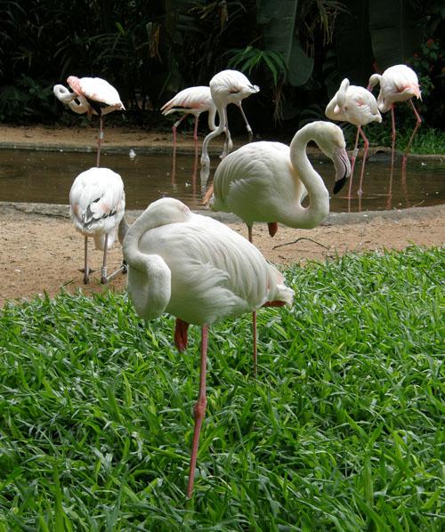 Parque das Aves (Bird Park, Brasil) - flamingos