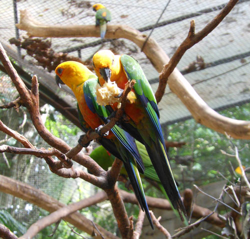 Parque das Aves (Bird Park, Brasil) - yellow-headed amazon parrots