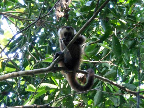 Serere Reserve - capuchin monkey