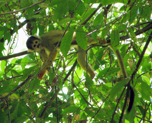 Serere Reserve - cute squirrel monkey