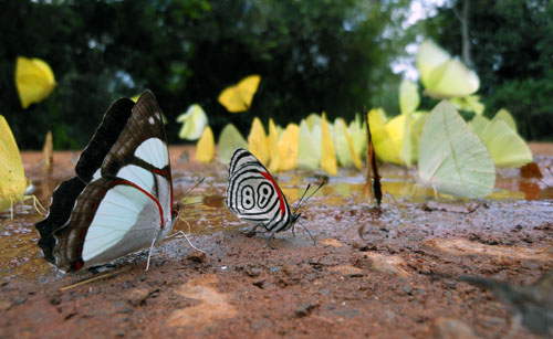 Argentina, Iguazu National Park - group of butterflies