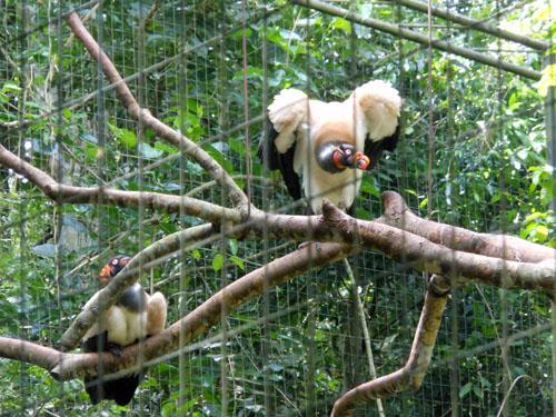 Brazil, Parque das Aves (Bird Park) - king voltures