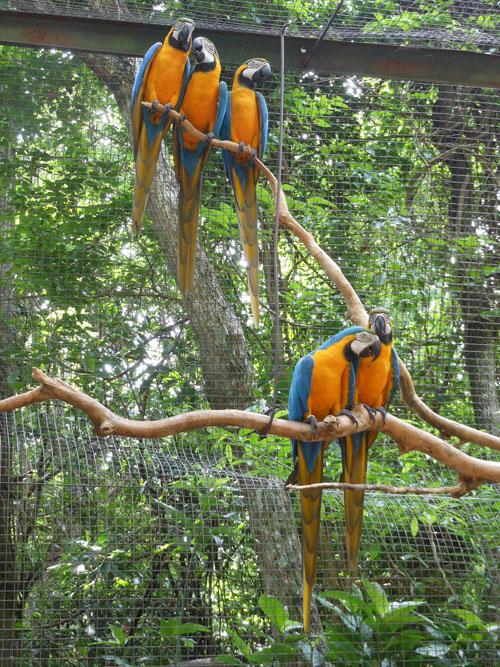 Brazil, Parque das Aves (Bird Park) - macaws
