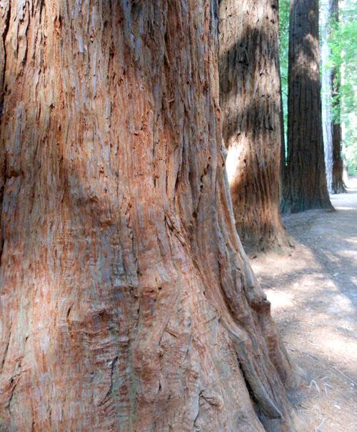 New Zealand, North Island - Rotorua, the redwoods