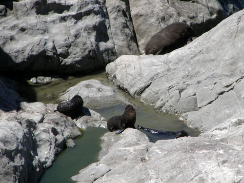 New Zealand, South Island - Okiwi and Half Moon Bay seal colony, 3 young playing in mini-pool