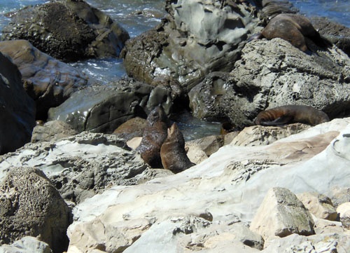 New Zealand, South Island - Okiwi and Half Moon Bay seal colony, adults having a fight