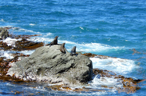 New Zealand, South Island - Okiwi and Half Moon Bay seal colony, this rock is ours
