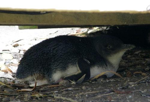 Oamaru Blue Pinguin Colony - hiding under footpath